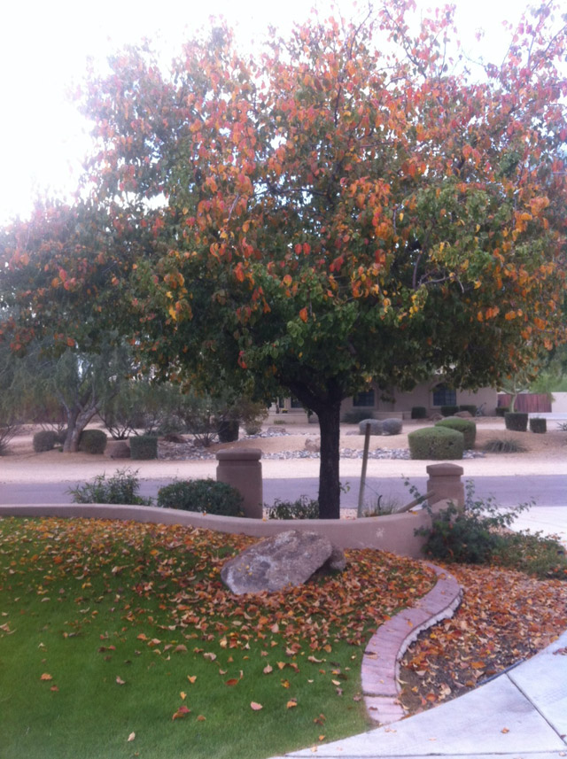 Leaves Do Fall in Scottsdale. Sometimes.